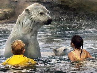 Polar bear swim, anyone? Anyone? Source: theprovince.com