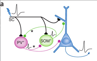 PV and SOM are two types of inhibitory neurons. There are a lot more types. Info transfer is SC->inhibitory; SC->excitatory; inhibitory ->excitatory