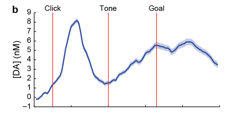Dopamine spikes right after the cue (click), then gradually ramps up as the rat navigates the maze, terminating when they reach their goal. Source: Extended Fig 4