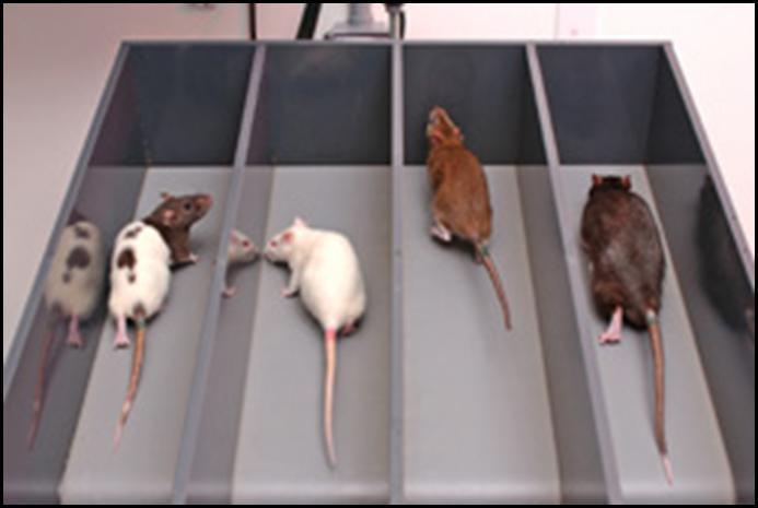 Rats on treadmills. Source: http://healthyurbankitchen.com/