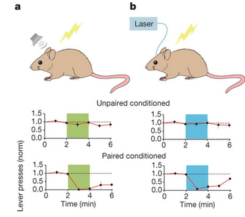 Left (a): classical tone-shock conditioning; Right (b) light-shock conditioning. When the tone and light was NOT simultaneously delivered (unpaired), the animals did not freeze (measured as a decrease in lever presses). When they came together (paired), the rats froze.