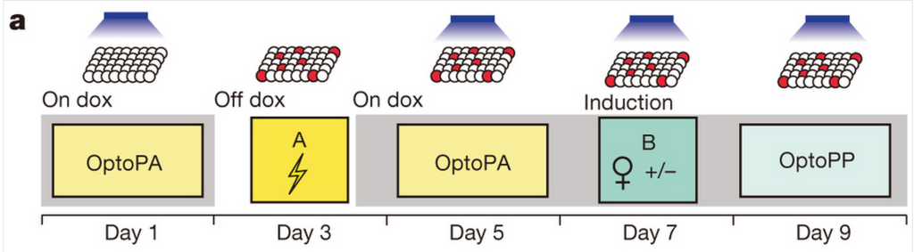 Mice were shocked on Day 3, and active neurons were labelled with ChR2 (red balls). The memory was reactivated with light on Day 5, and again on Day 7 when the mice met their female friends. OptoPA tests for avoidance, while OptoPP tests for preference (how much mice lingered)