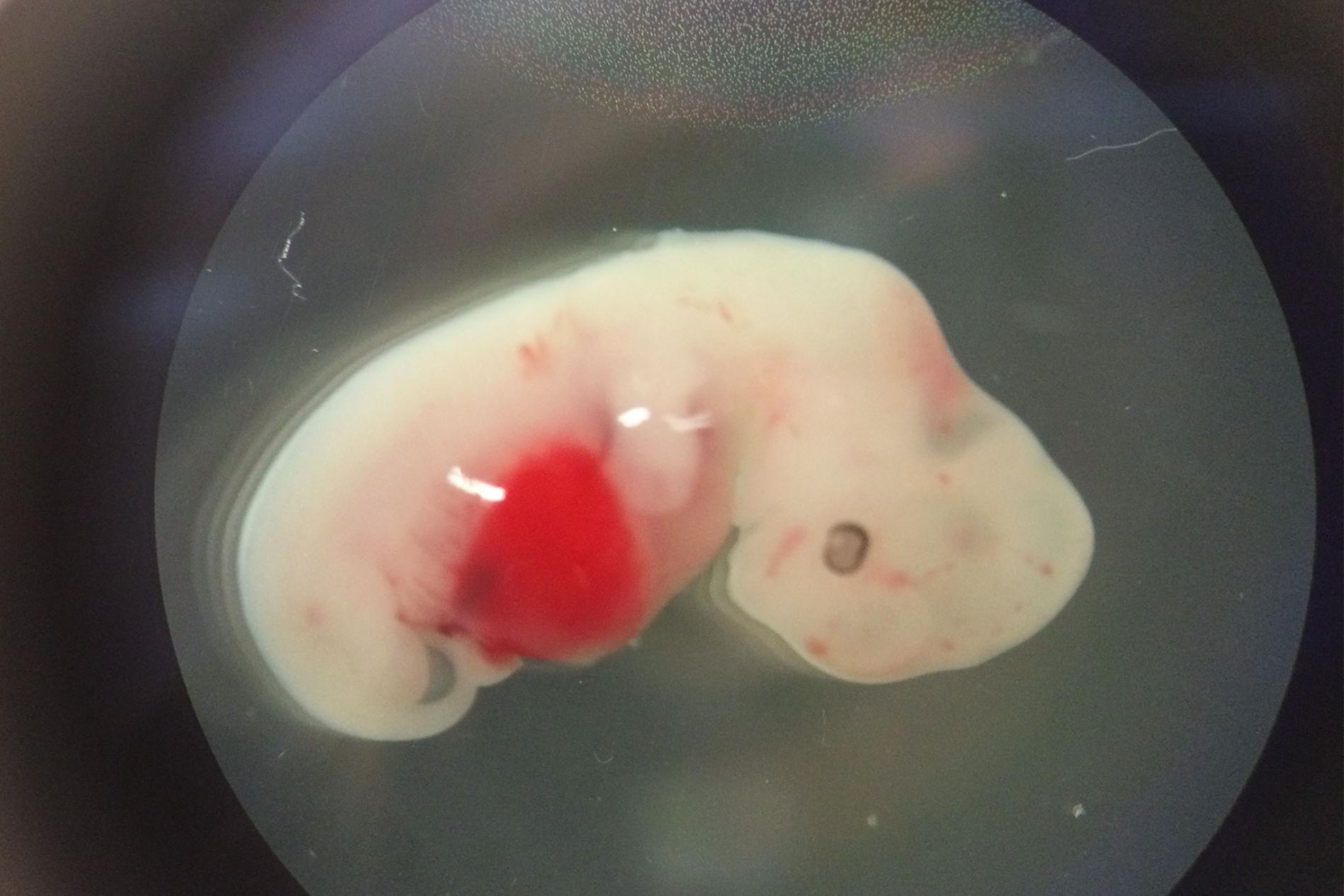 Pig embryo with human cells. Your holy f** image of the day.  Credit: Courtesy of Juan Carlos Izpisua Belmonte