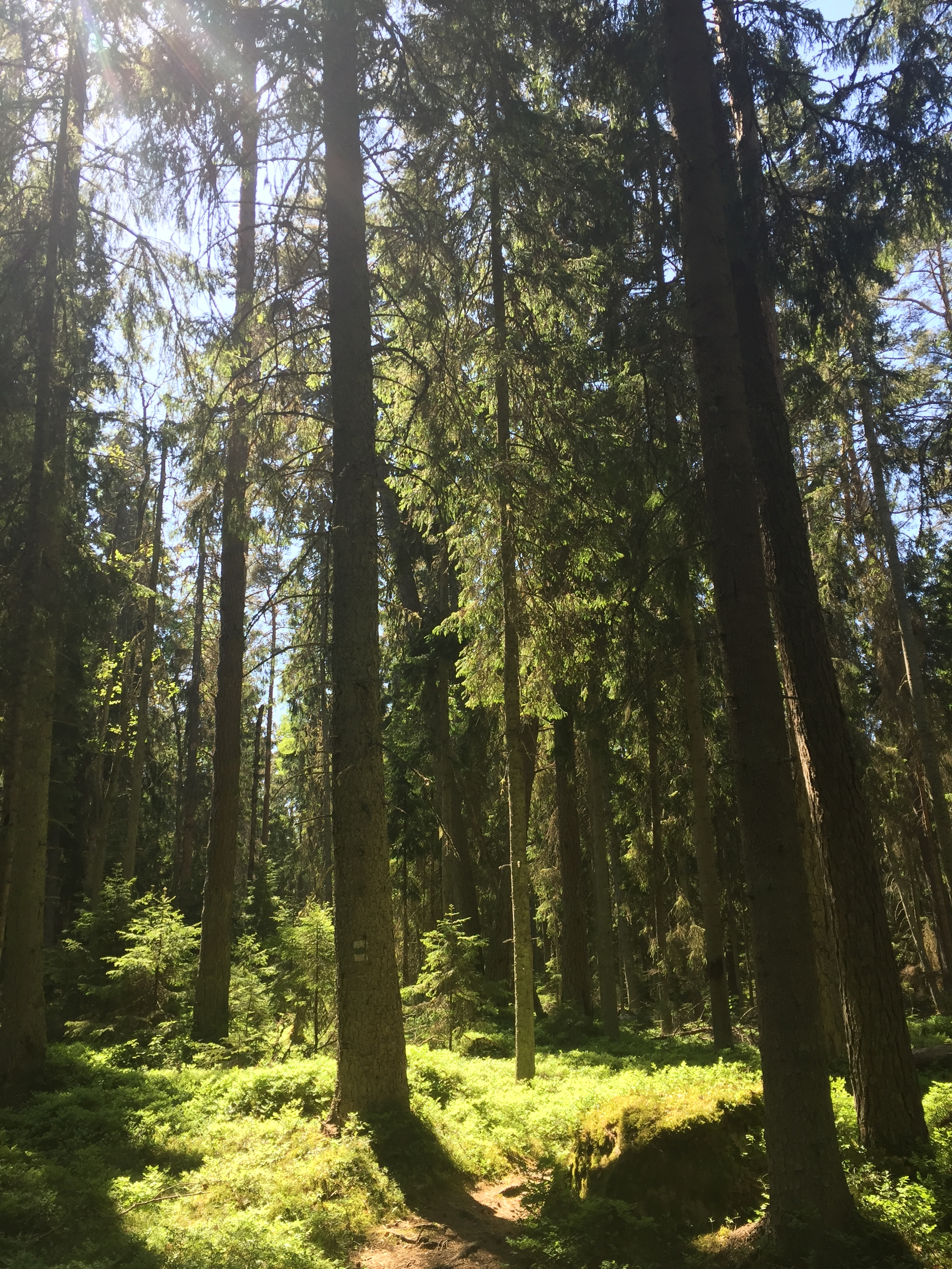 The woods of Laheema