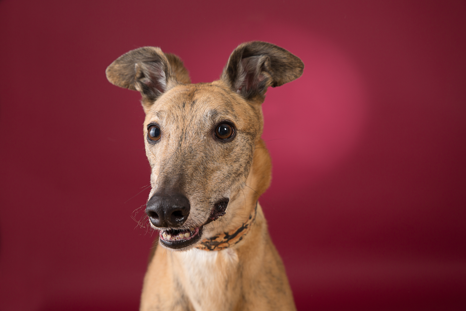 Greyhound posing for his photoshoot in Northport photography studio