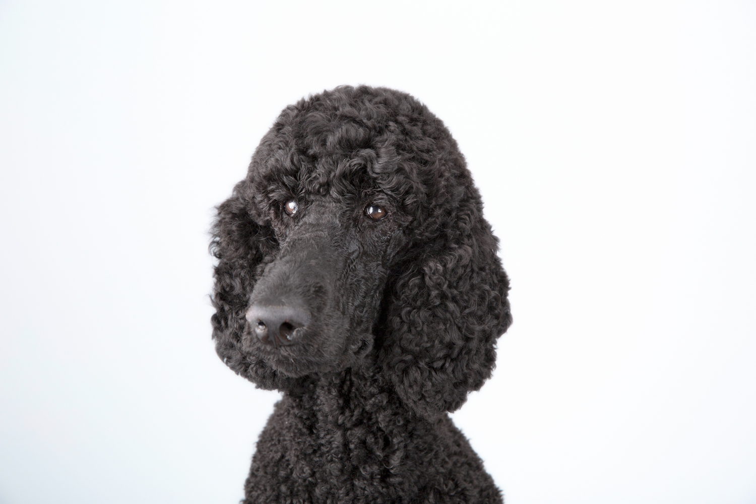 Black Standard Poodle posing for his photography portrait session