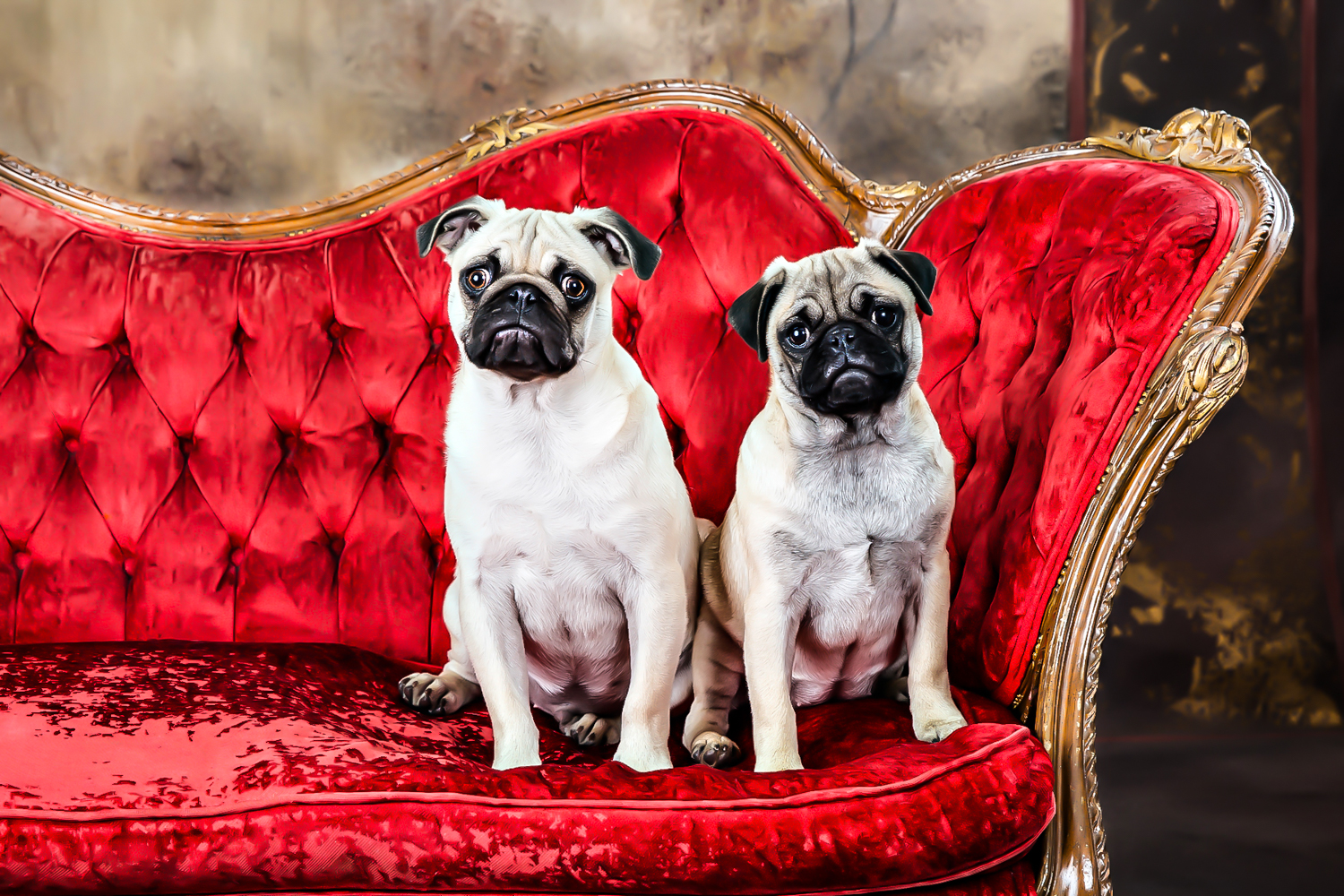 Pug sibblings posing on a red antique couch during their portrait session in Northport Studio