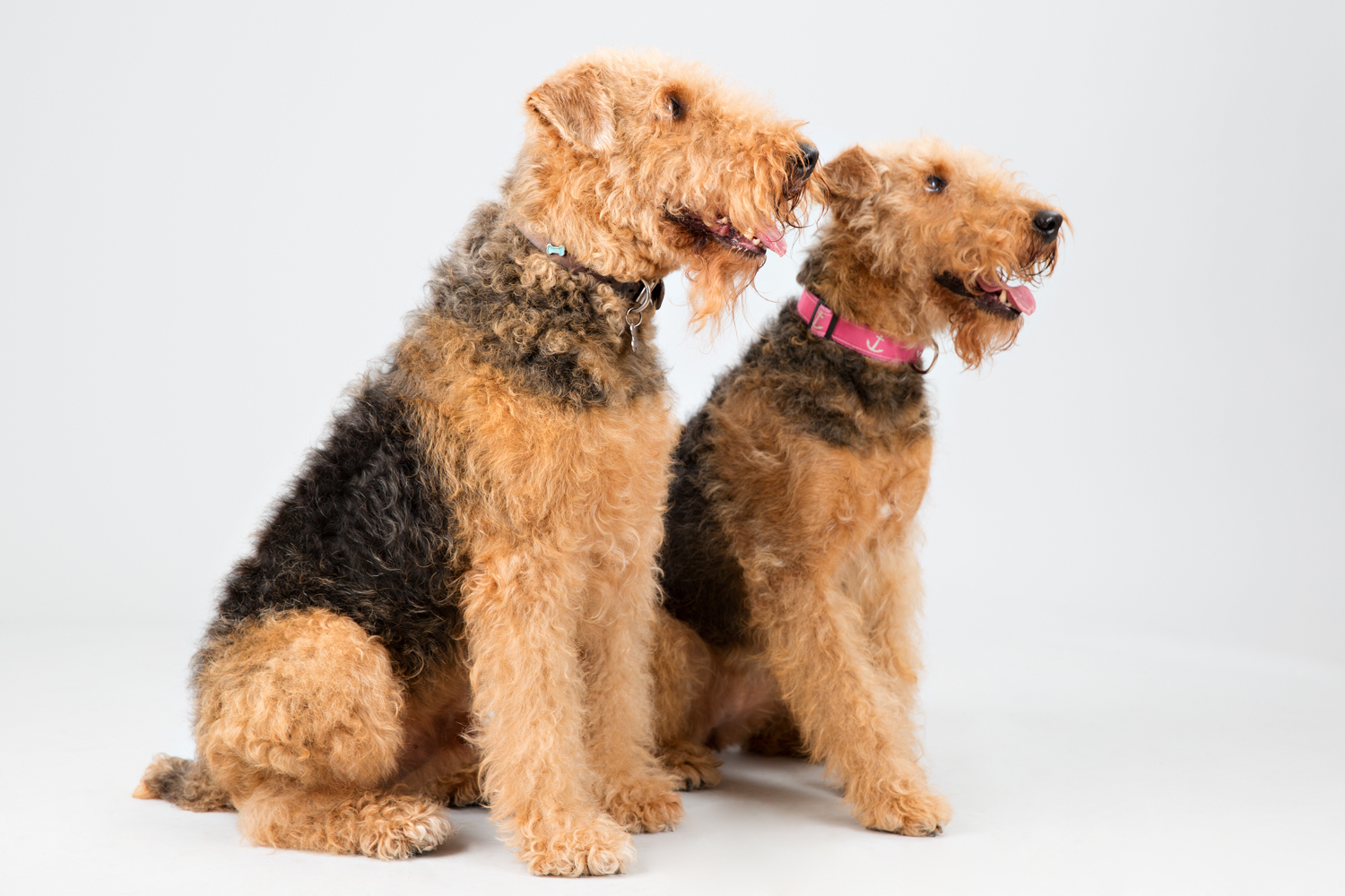 Two dogs waiting for a treat during their photo shoot