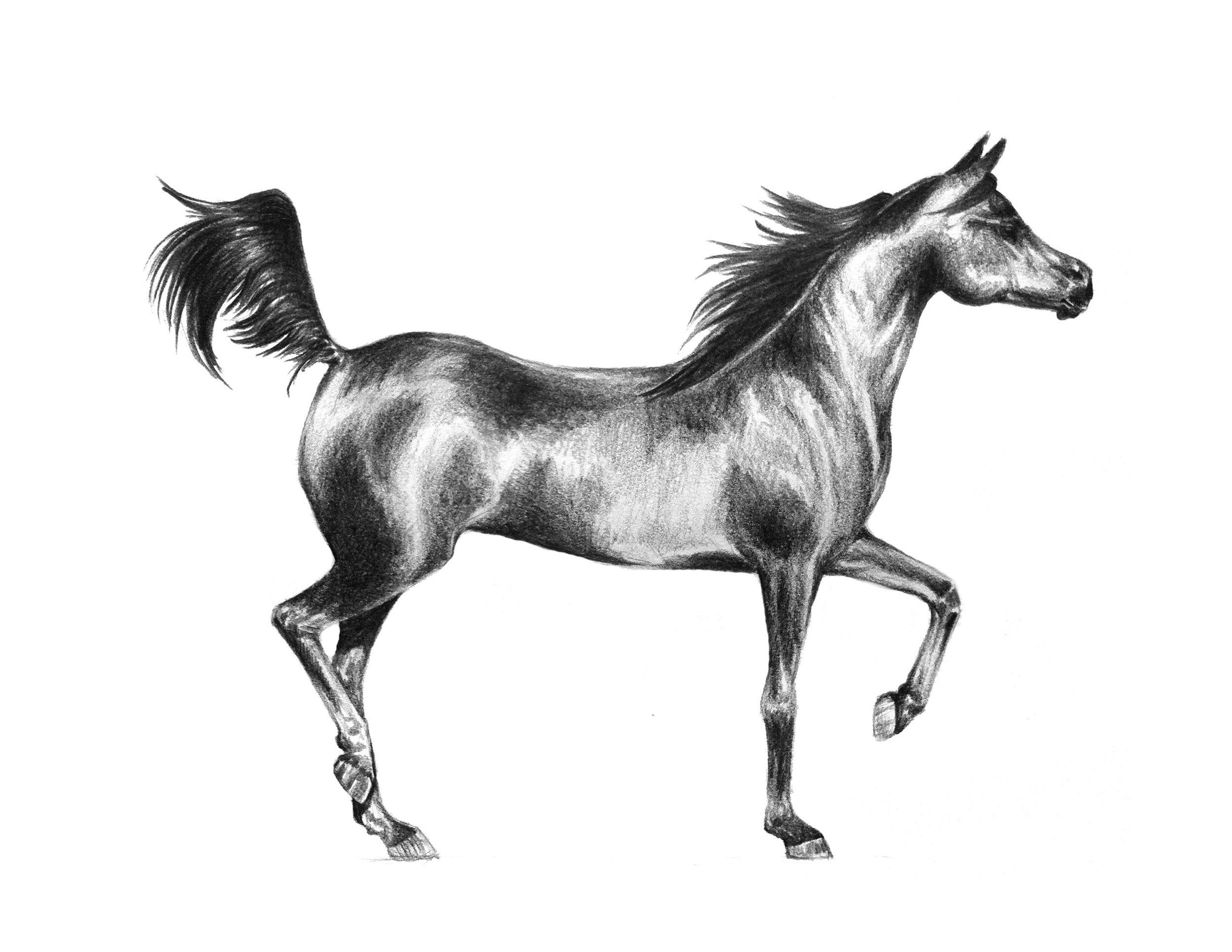arab horse.jpg