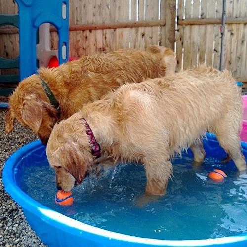 pool 2dogs.jpg