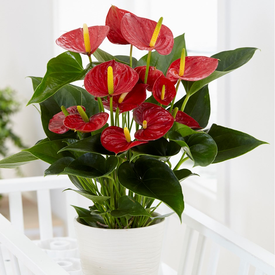 Anthurium office plant
