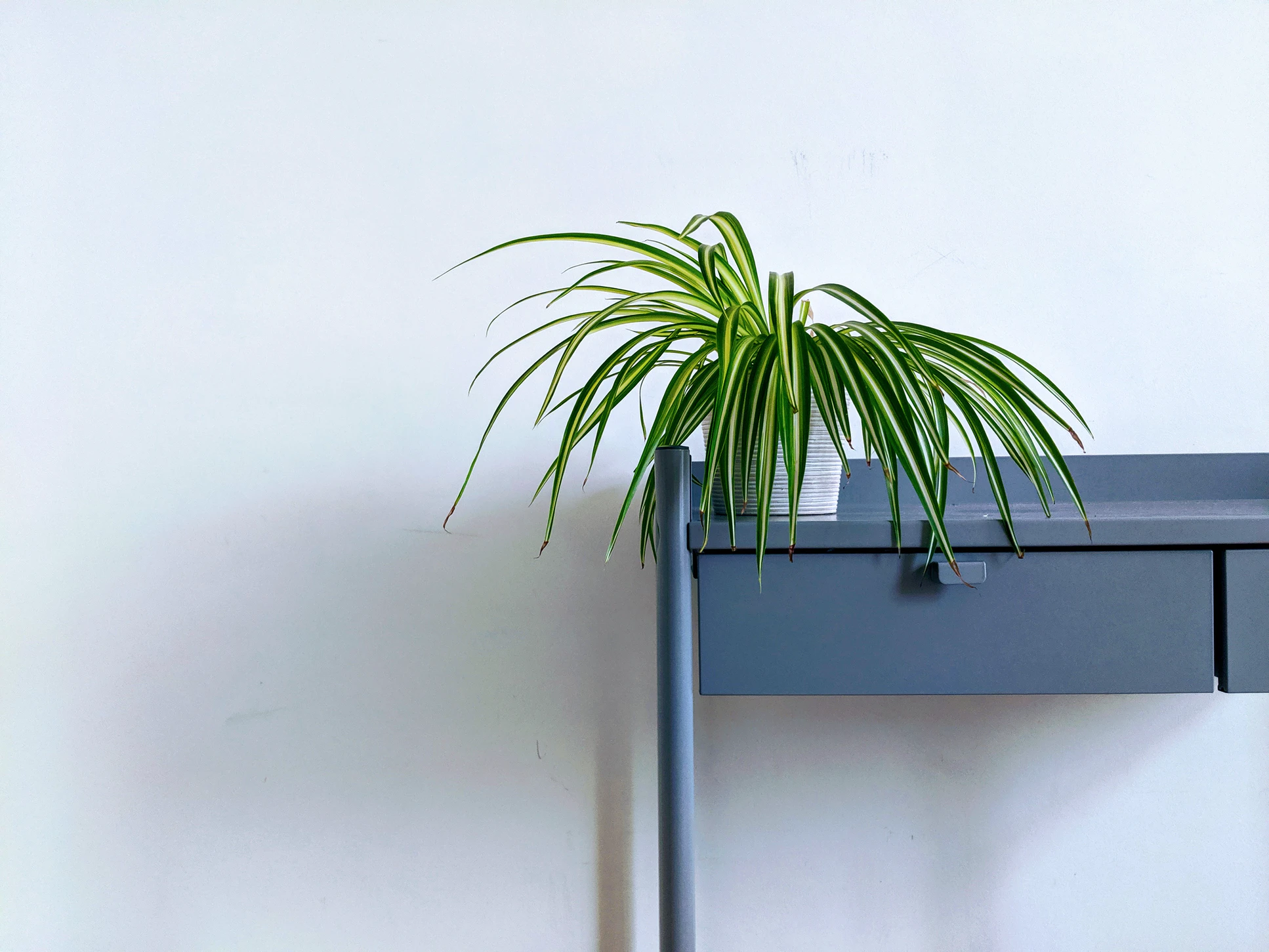 spider plant one of the best office plants