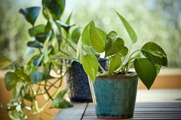 Pothos office plant