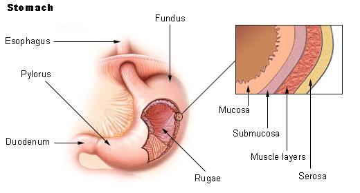 stomach1.jpg