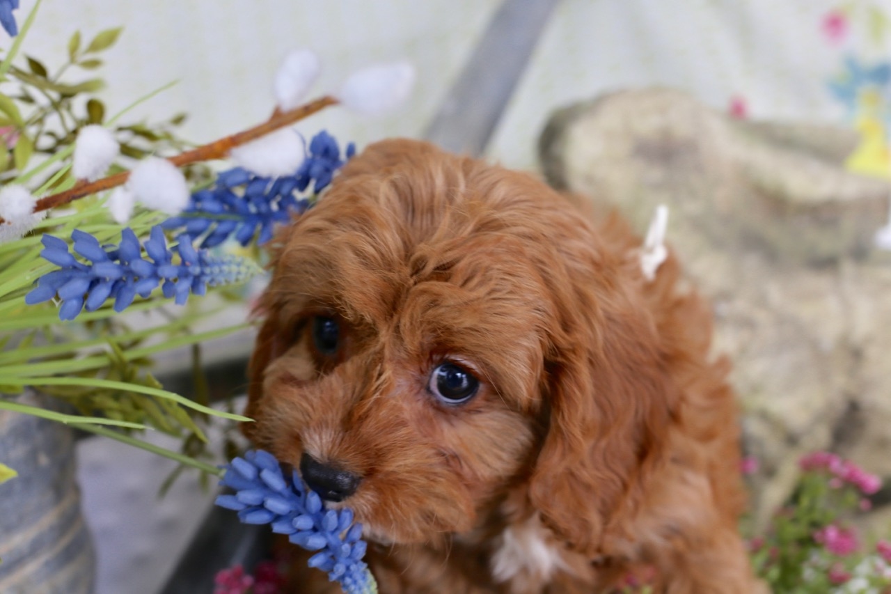 Cavapoo+puppy (2).jpeg
