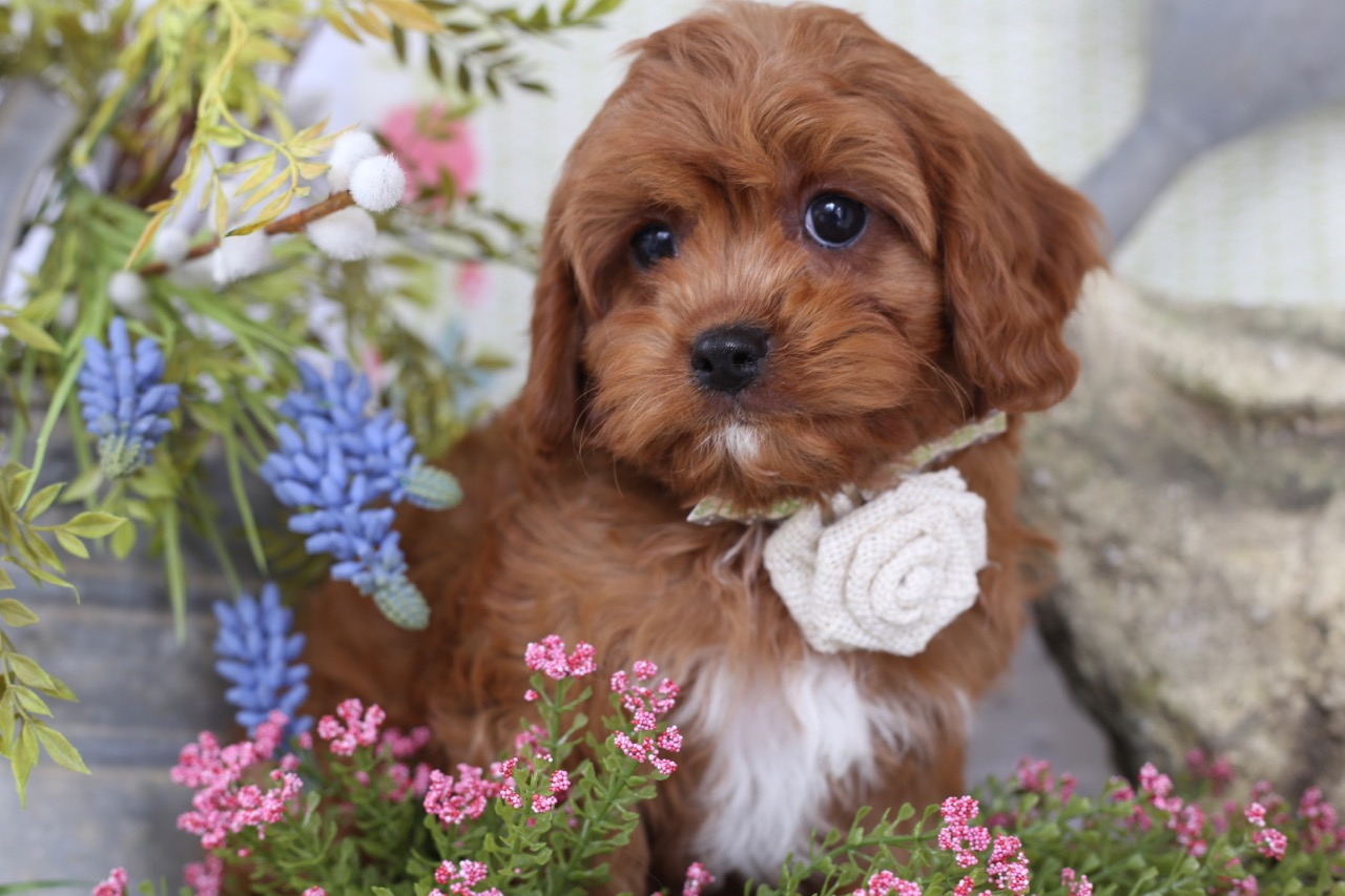 Cavapoo+puppies+from+Foxglove+Farm.jpeg