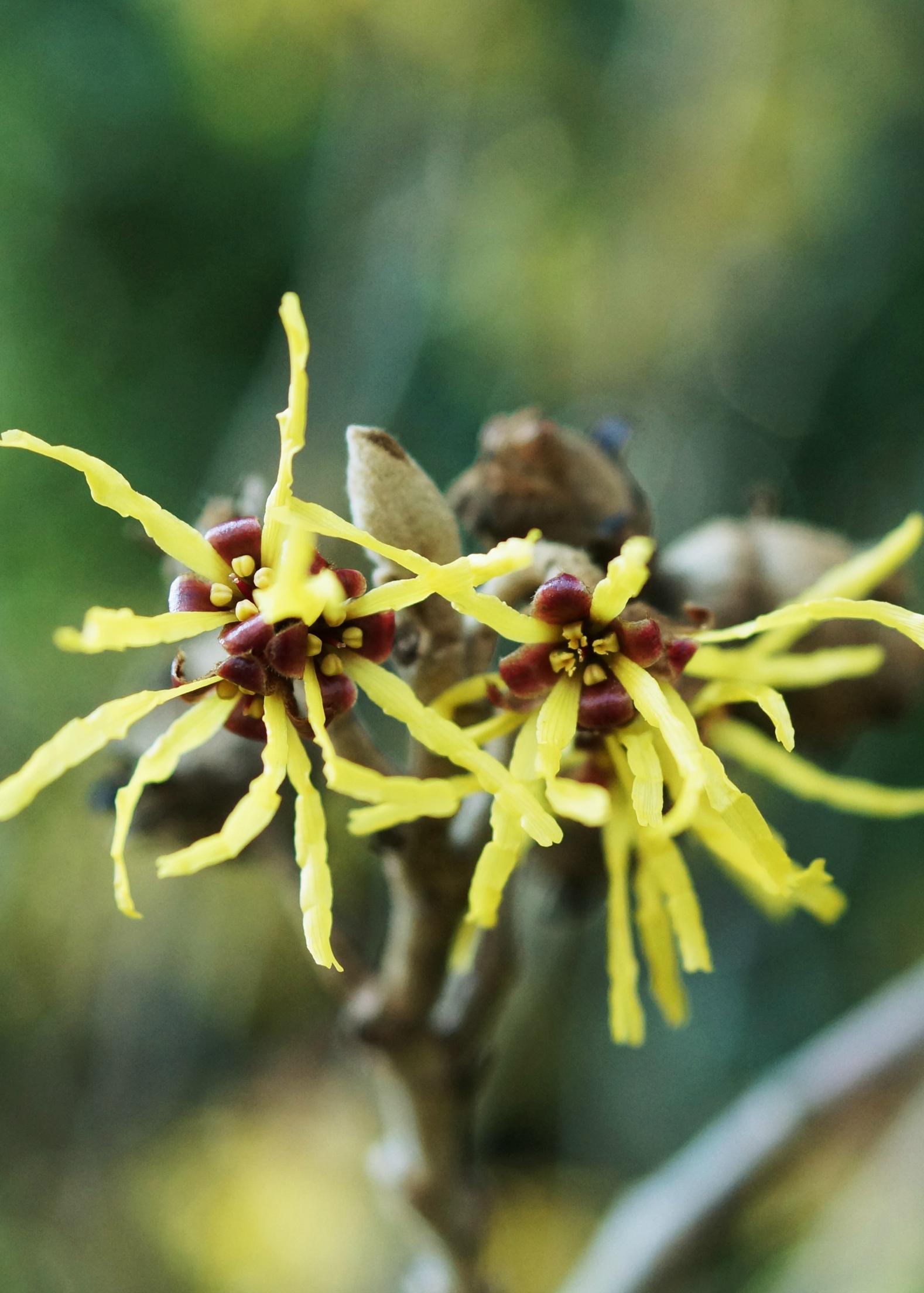 Hamamelis × intermedia  'Westerstede'