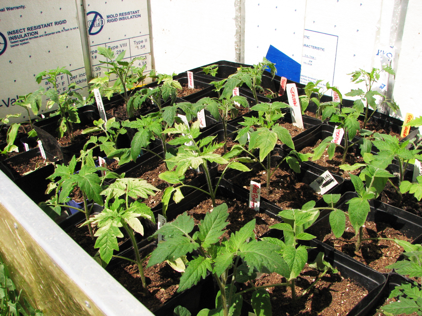 Tomatoes in the cold frame