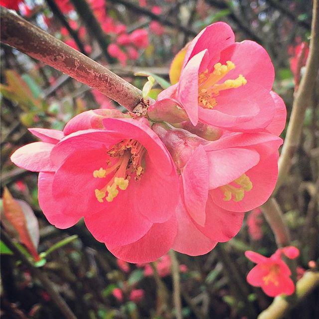 The orange-scarlet blooms of Chaenomeles japonica, or Japanese quince. #springishere . . . #westseattle #pnwgardening #gardening #urbangarden #instagardenlovers #gardensofinstagram #floweringshrub #japanesequince