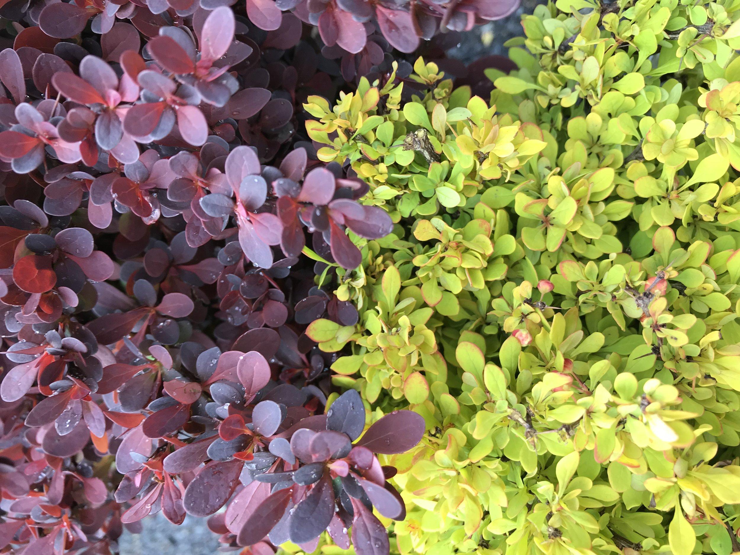 Berberis thunbergii  'Rose Glow' (L) and  Berberis thunbergii  'Monlers' Can (R)