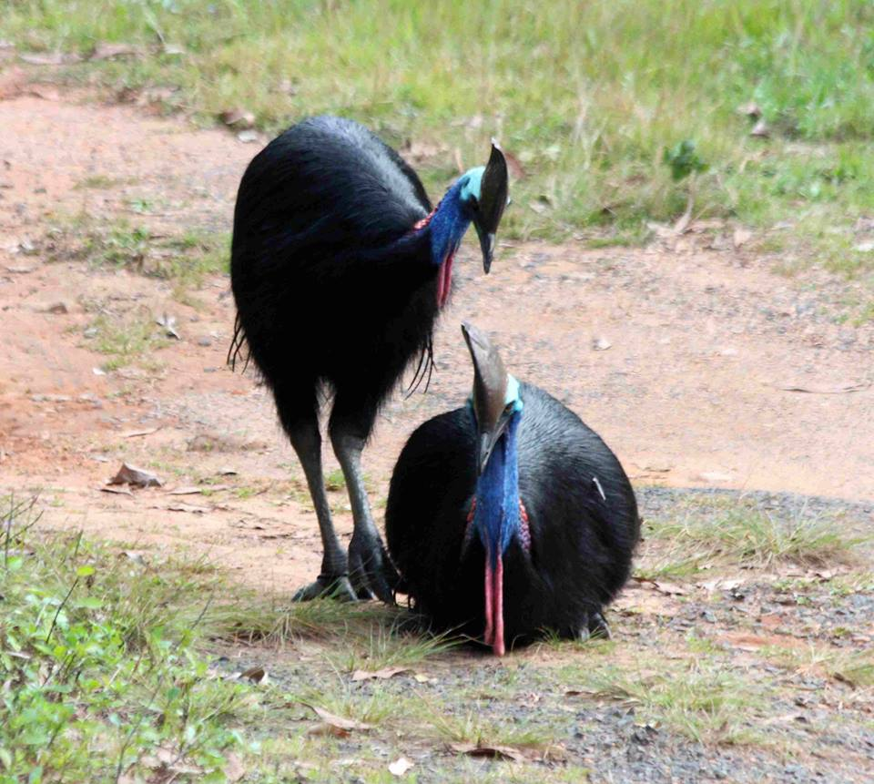 Photo provided curtesy of Mission Beach Cassowaries.