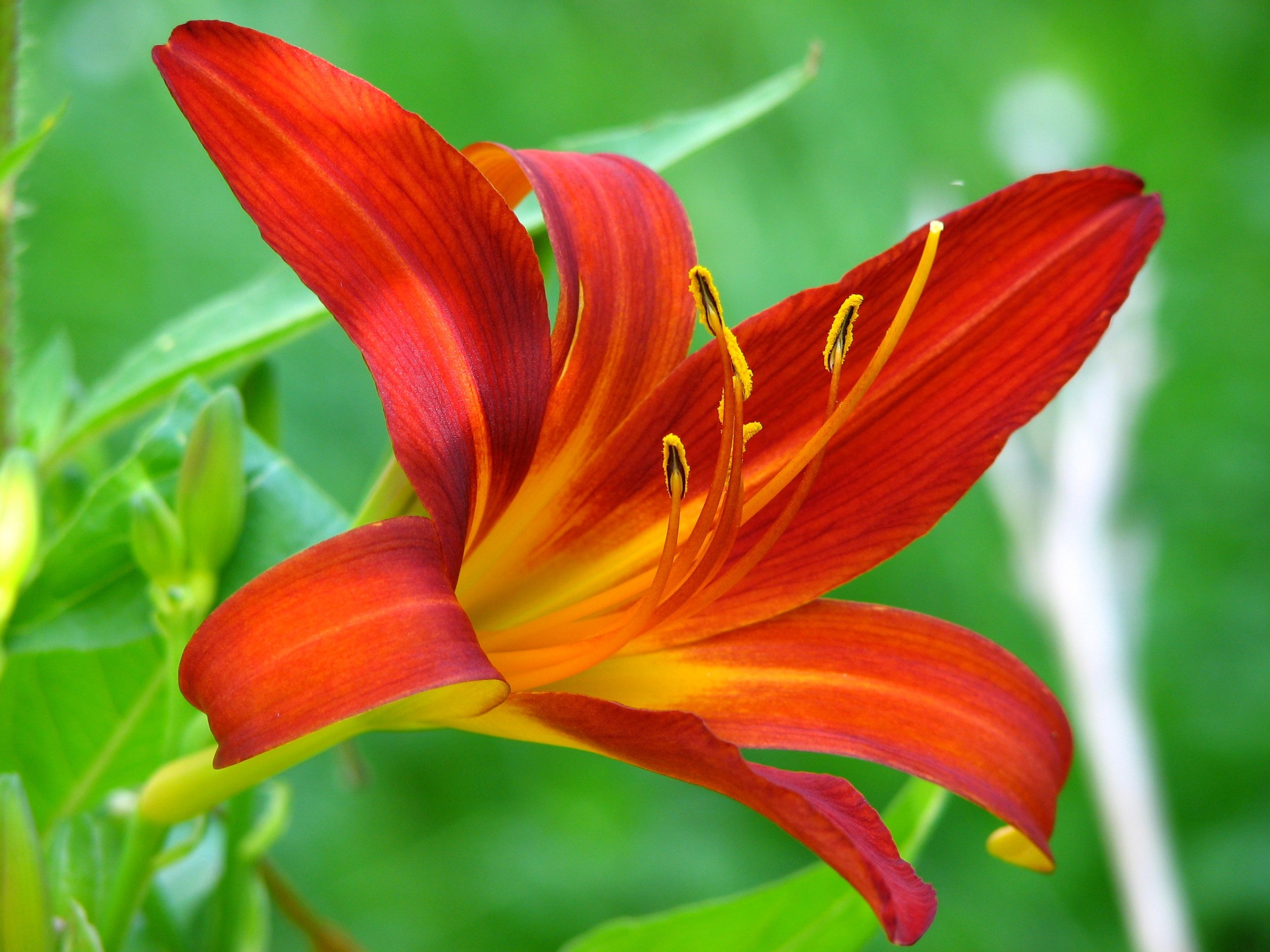 lily-flower-red-blossom-53976.jpg
