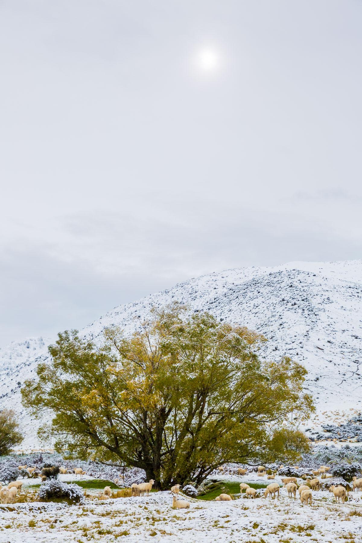 farm-morning-lake-tekapo-fresh-snow-snowfall-storm-autumn-crisp-cold-sheep.jpg