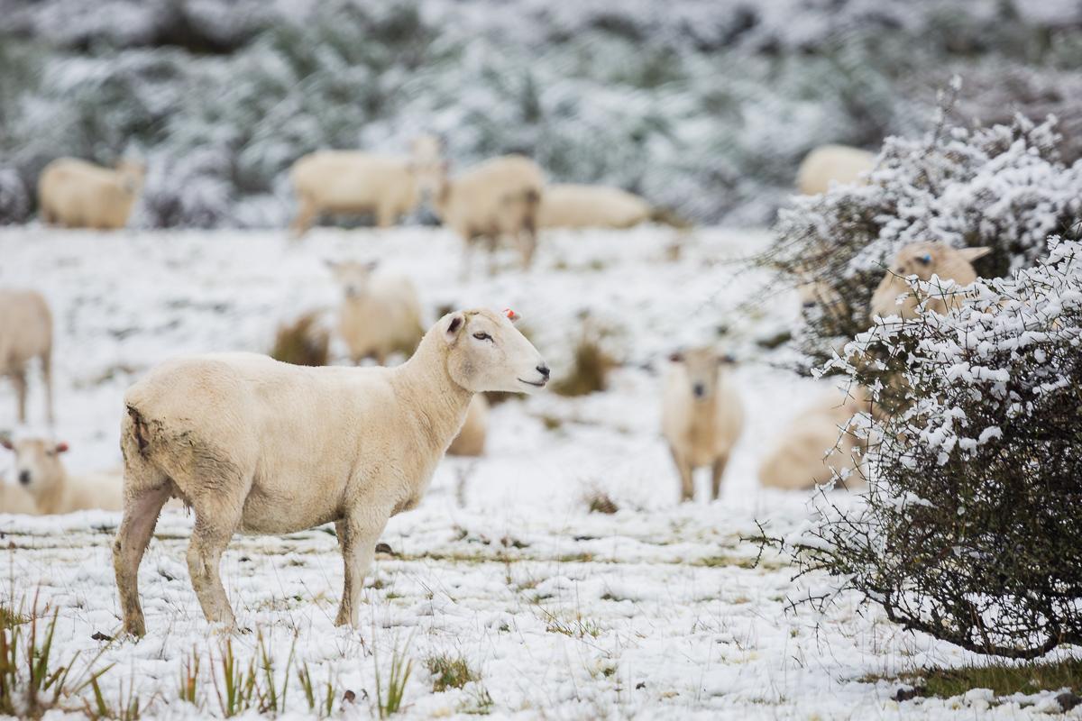 sheep-snow-south-island-new-zealand-autumn-cold-lake-tekapo-mount-cook.jpg