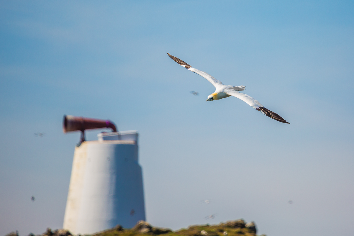 morus-bassanus-gannet-isle-of-may-flight-lighthouse-wildlife-fauna-scotland-UK.jpg