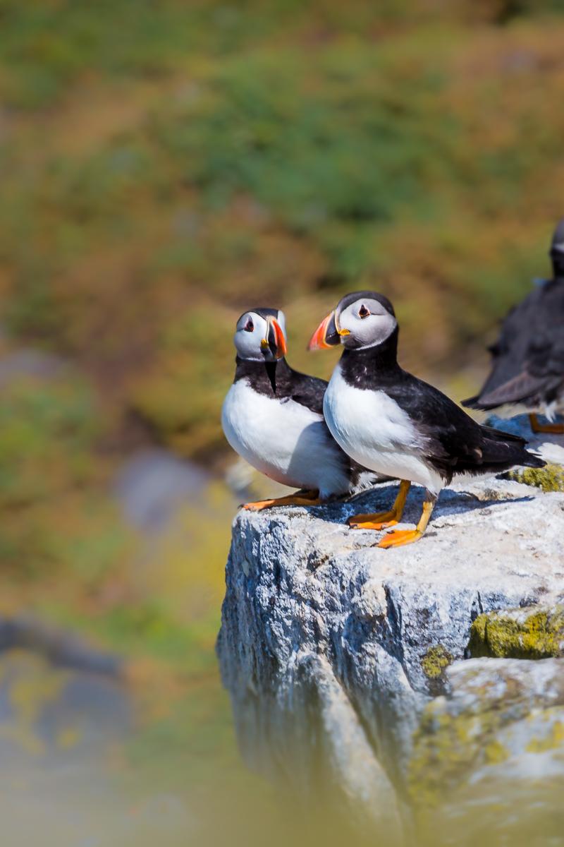 atlantic-puffin-common-fratercula-arctica-isle-of-may-pair-fishing-nesting-august-scotland-UK.jpg