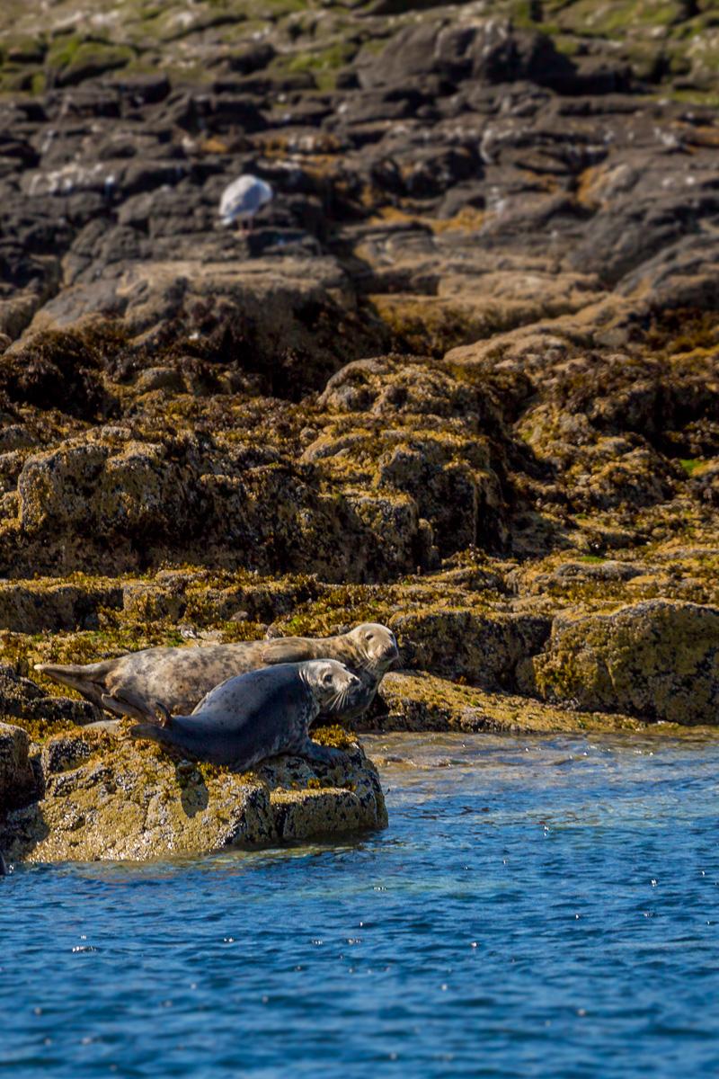 grey-seals-isle-of-may-scotland-uk-wildlife-photography-travel-tourism.jpg