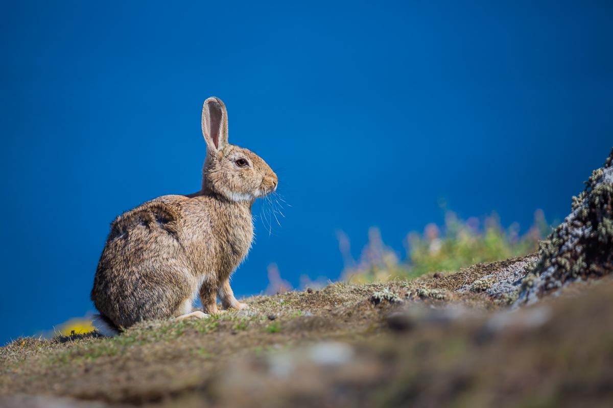 isle-of-may-st-andrews-scotland-wildlife-sightseeing-tour-ferry-cruise-princess-may-hare-rabbit.jpg