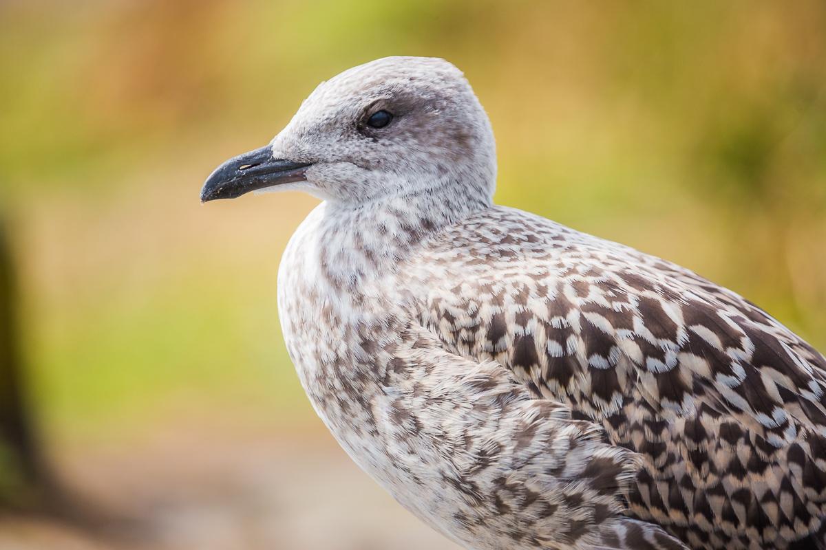 Larus-michahellis-yellow-legged-gull-juvenile-isle-of-may-scotland-UK-st-andrews-breeding.jpg