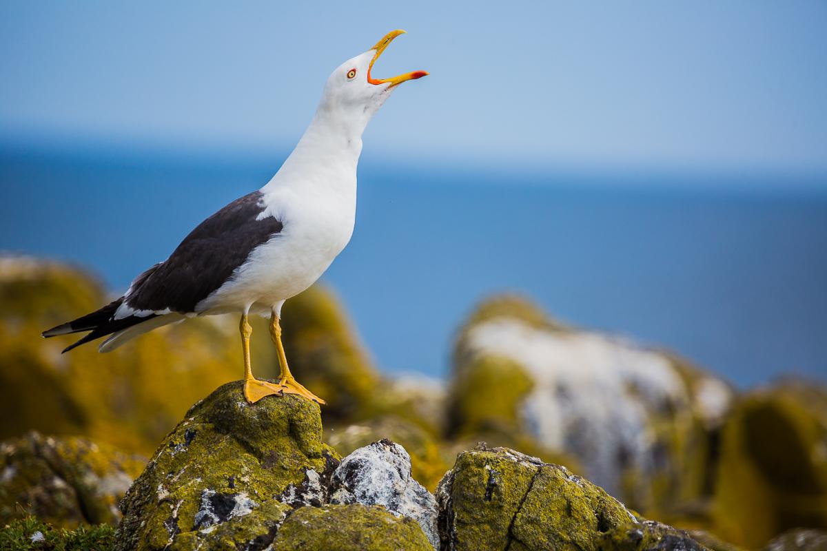 Larus-michahellis-yellow-legged-gull-adult-breeding-isle-of-may-scotland-st-andrews-UK-wildlife.jpg