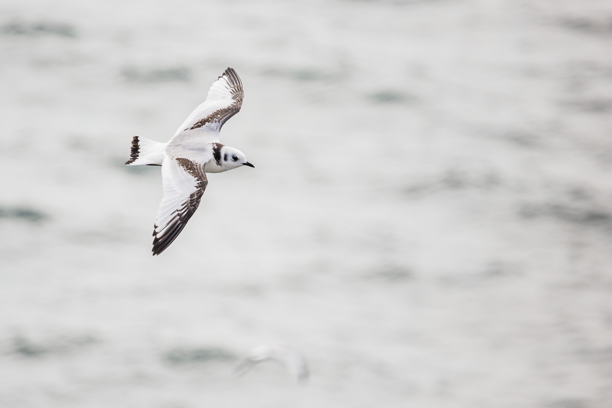 Rissa-tridactyla-black-legged-kittiwake-juvenile-flight-flying-isle-of-may-white-gray-black-bird-ocean-flight-scotland-fauna.jpg