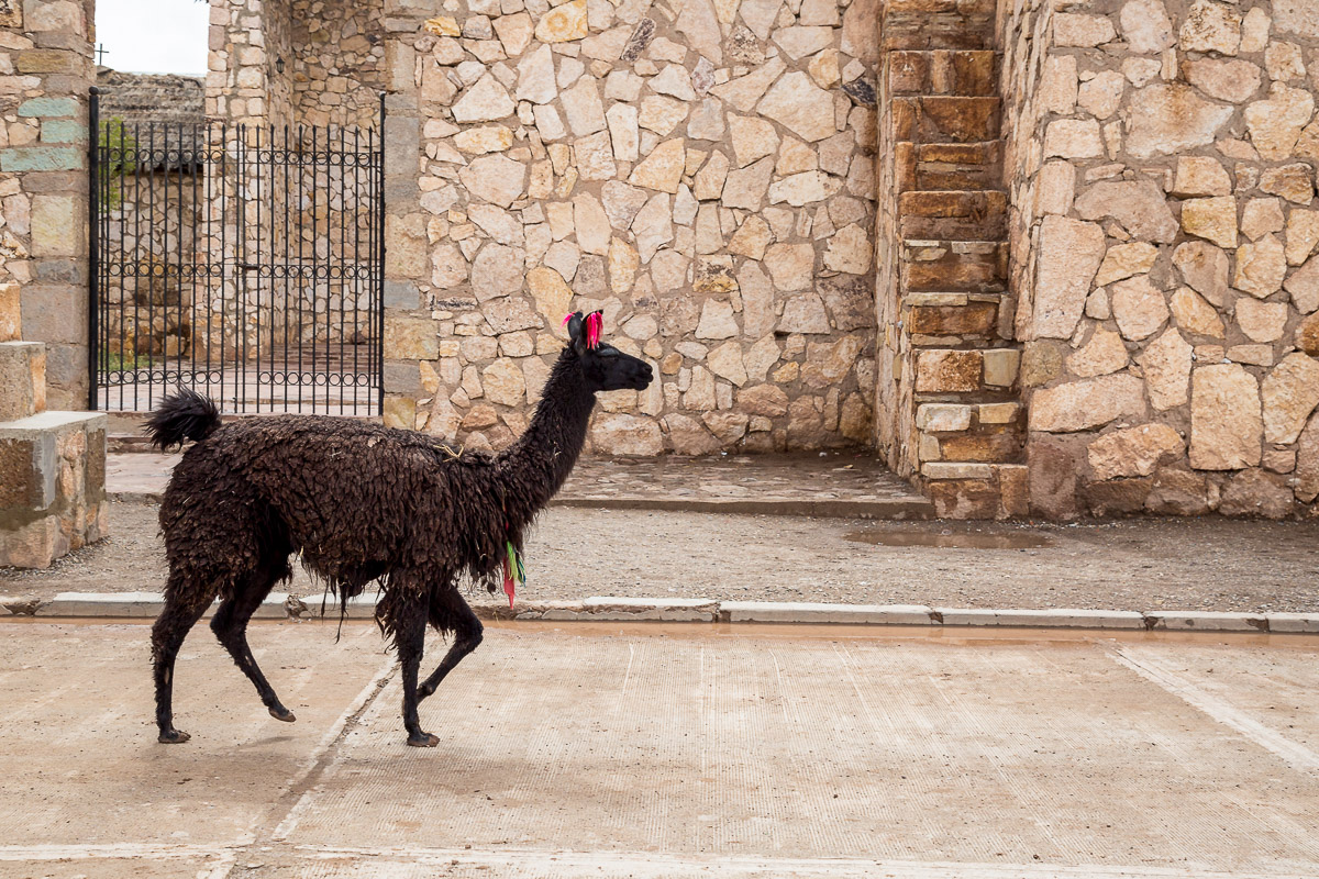 llama-bolivia-animal-photography-south-america-travel-tourism-colchani-village-church-city-town-traditional.jpg