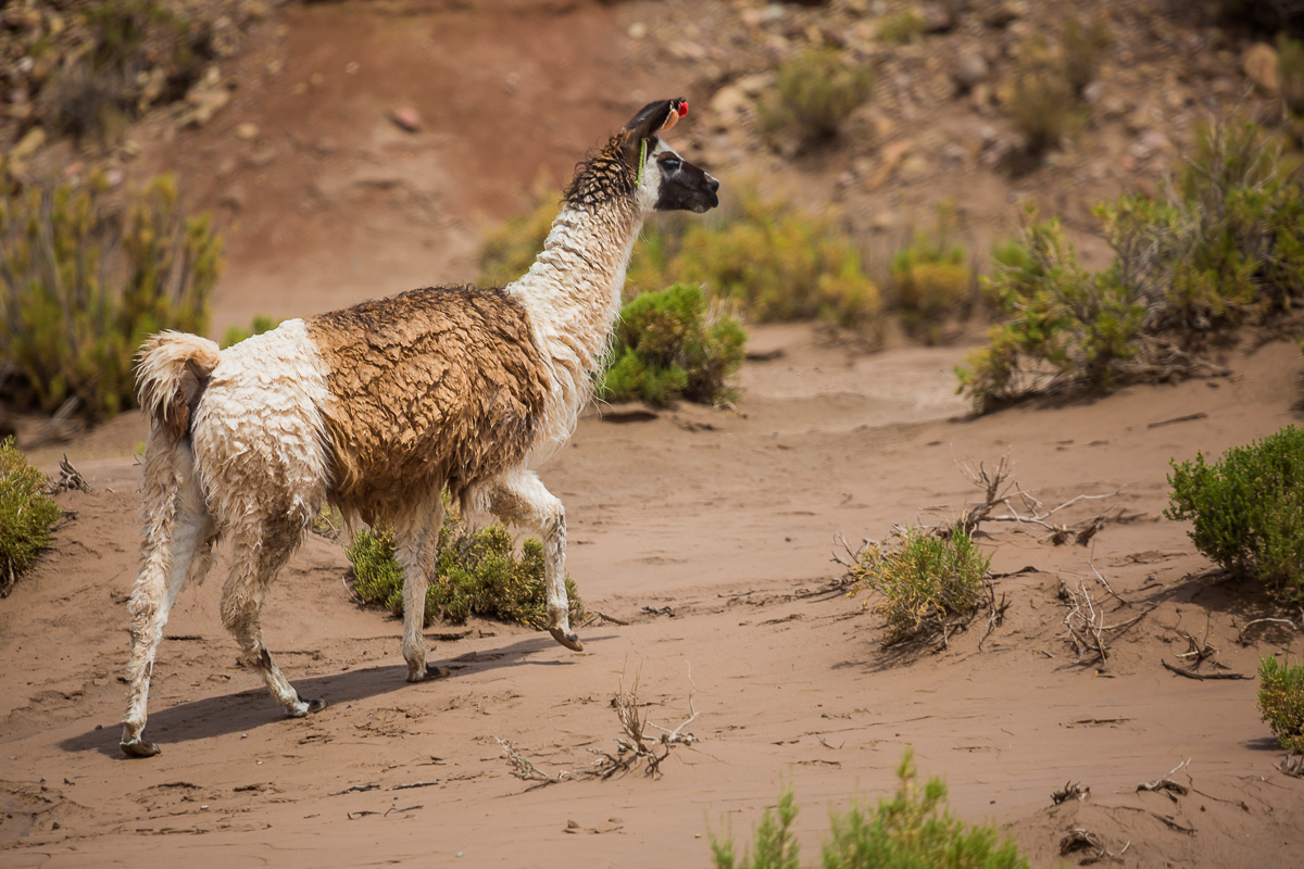 llama-uyuni-bolivia-farm-rural-photographer-travel-south-america-colchani.jpg