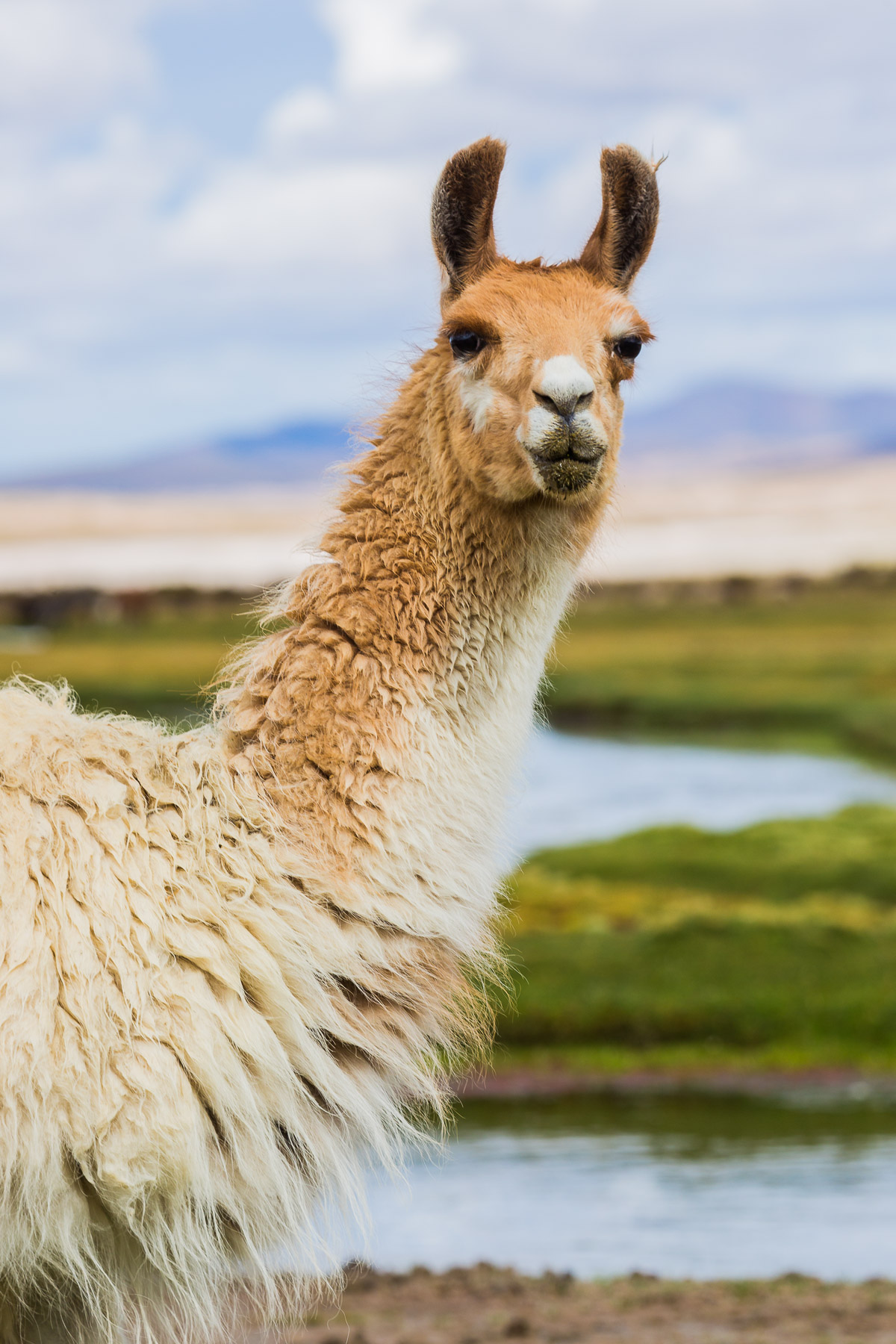 llama-bolivia-portrait-animal-photographer-photography-pet-farm-countryside-rural-south-america.jpg