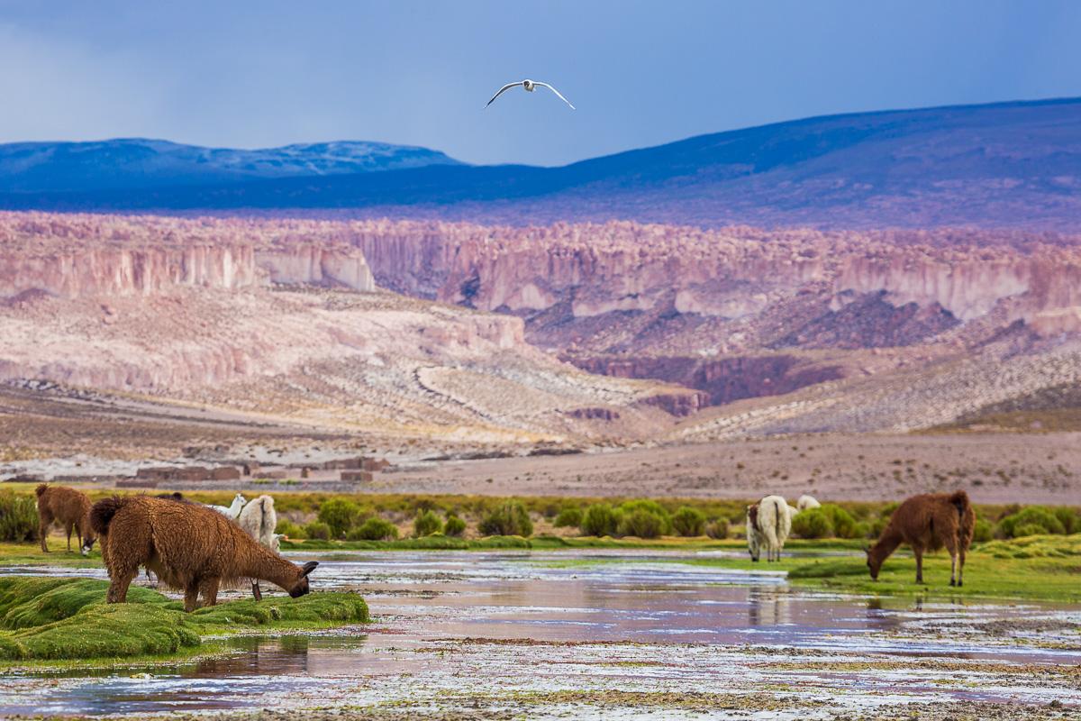 llama-valley-grazing-farmland-llamas-wool-bolivia-bolivian-countryside-travel-photographer-photography-workshop-landscape.jpg