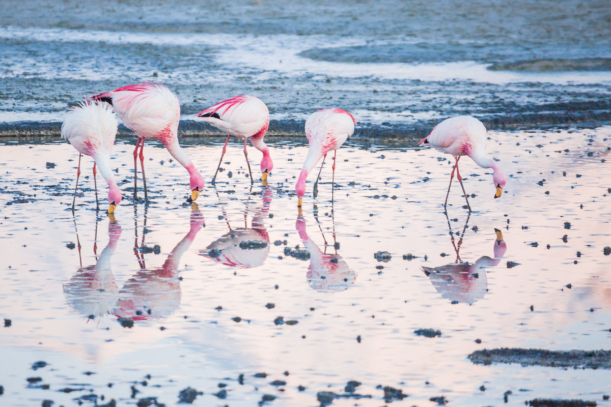 flamingoes-flamingos-bolivia-flamencos-wild-sunrise-ecolodge-los-flamencos-bolivian-eduardo-abaroa-national-park.jpg