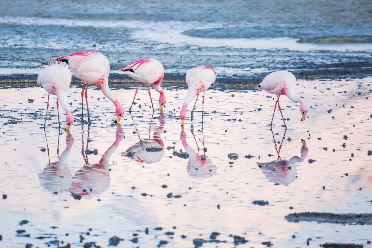 flamingoes-flamingos-bolivia-flamencos-wild-sunrise-ecolodge-los-flamencos-bolivian-eduardo-abaroa-national-park.jpg