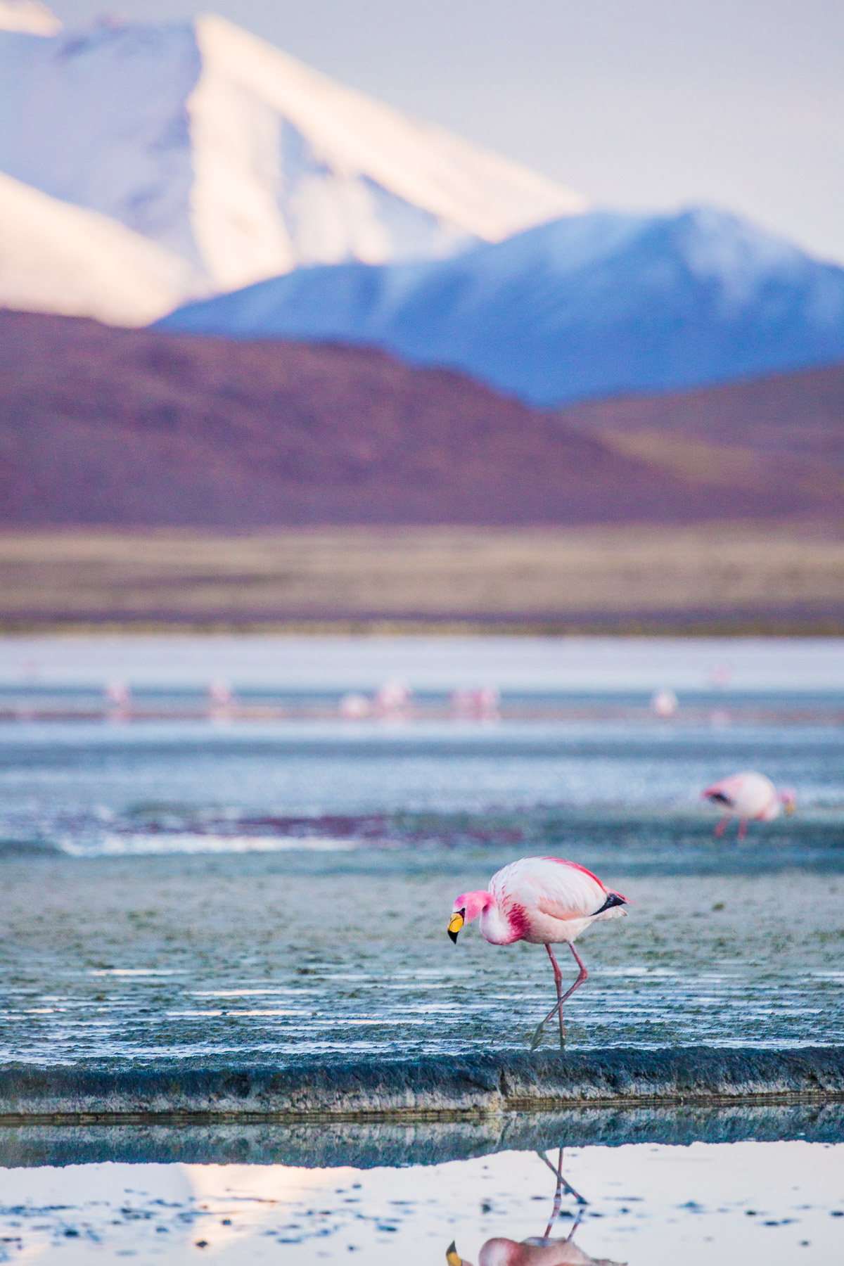 flamingo-laguna-hedionda-bolivia-siloli-desert-eduardo-avaroa-national-park-travel-photographer-wildlife.jpg