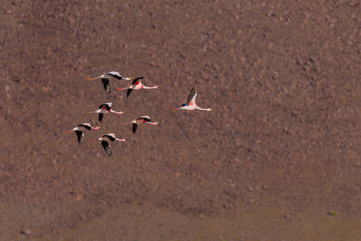 flamingoes-flamingos-flying-lagoon-bolivia-eduardo-avaroa-park-reserve-andean-fauna-travel-expedition-adventure.jpg