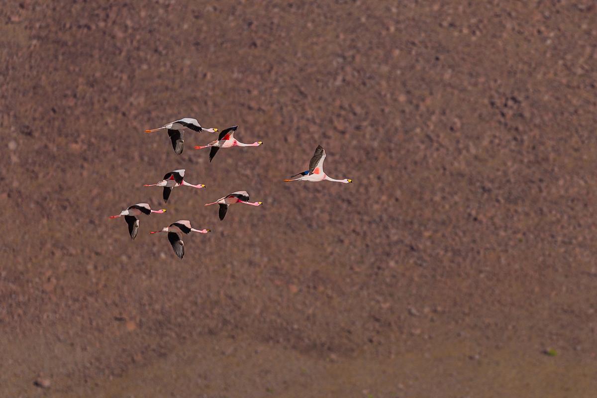 flamingoes-flamingos-flying-lagoon-bolivia-eduardo-avaroa-park-reserve-andean-fauna-travel-expedition-adventure.jpg