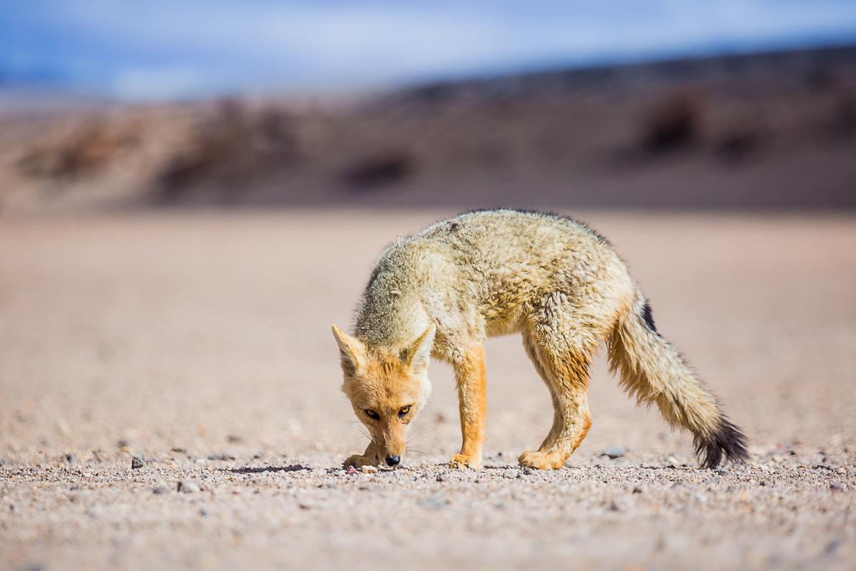 amalia-bastos-photography-zorro-fox-vulpes-national-park-reserve-eduardo-avaroa-andean-fauna-bolivia-wildlife.jpg