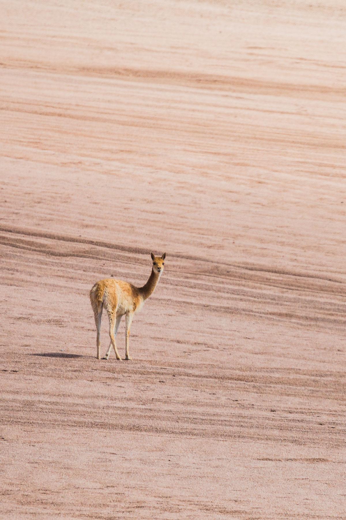 vicuna-portrait-wildlife-photography-travel-bolivia-bolivian-fauna-animals-eduardo-avaroa-national-park-travel.jpg