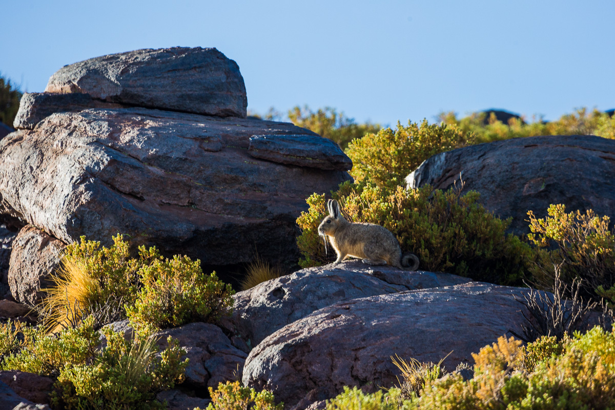 viscacha-vizcacha-bolivia-bolivian-fauna-eduardo-avaroa-national-reserve-wildlife-photography-adventure-travel.jpg
