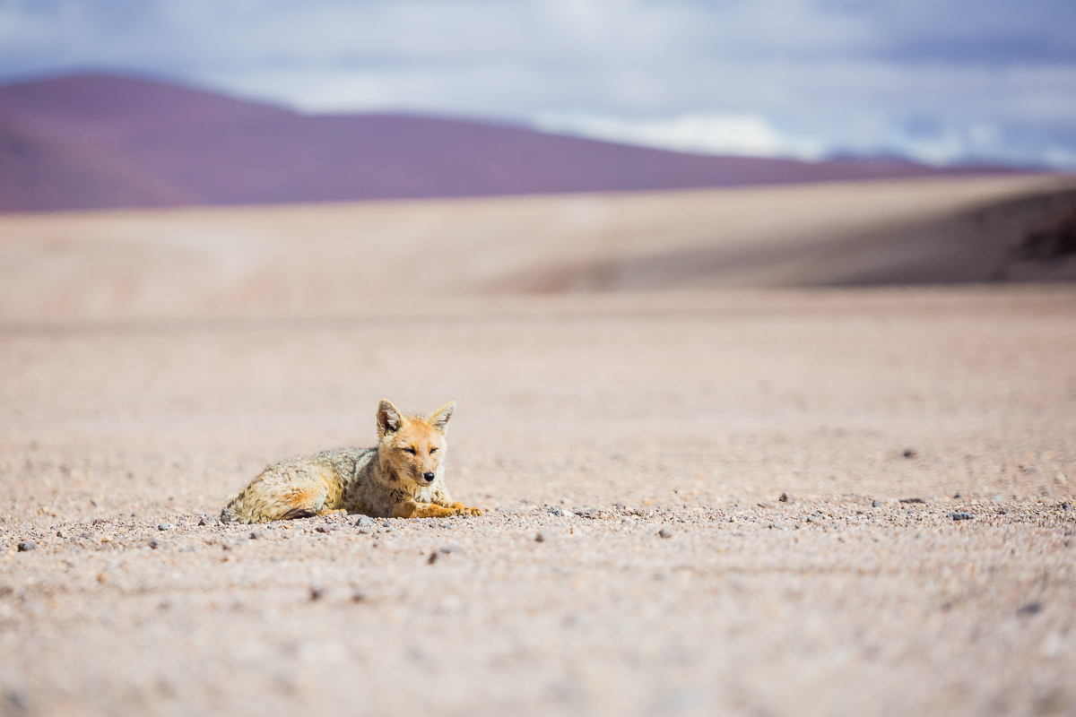 wildlife-national-park-eduardo-avaroa-reserve-fox-vulpes-bolivian-animals-fauna-bolivia-bolivian-travel-photograph.jpg