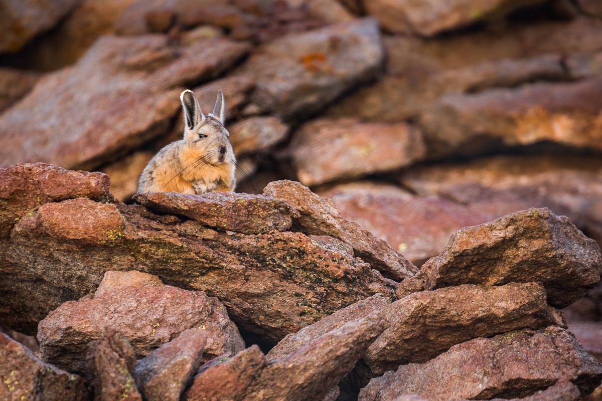 viscacha-vizcacha-siloli-desert-bolivia-fauna-eduardo-avaroa-national-park-rodent-wildlife-photography-photographs.jpg