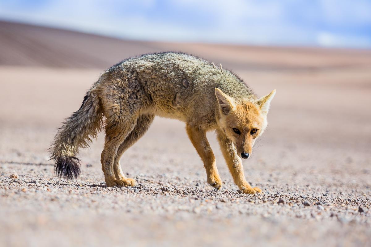 wildlife-photography-bolivia-travel-south-america-eduardo-avaroa-national-park-reserve-photographer-expedition.jpg